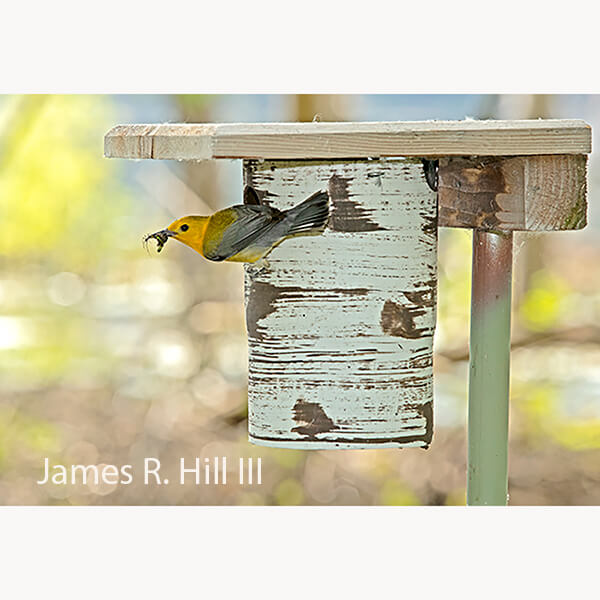 Gilbertson Prothonotary Warbler & Chickadee House