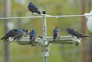Purple Martins using a Bed and Breakfast